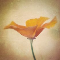 California Poppy – Kalifornischer Mohn by Tania Konnerth