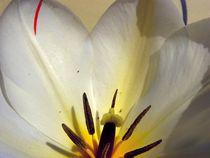 Tulpe von Birgit Knodt
