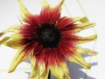Sonnenblume von Birgit Knodt
