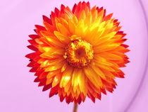 Strohblume von Birgit Knodt