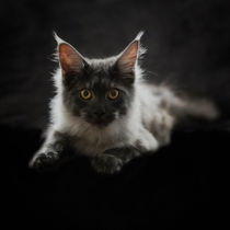 Maine Coon / 40 by Heidi Bollich