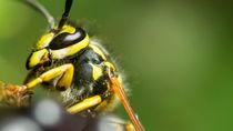 Deutsche Wespe von fakk