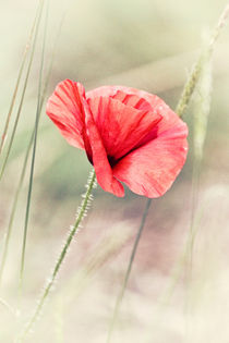 'Wild Poppy' by Vicki Field