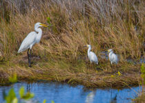 Egret Confab by John Bailey