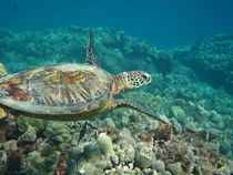 Sea Turtle by Alexander Daniels