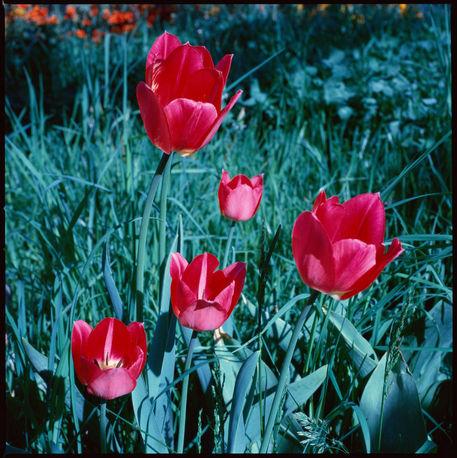 Tulpen-1024