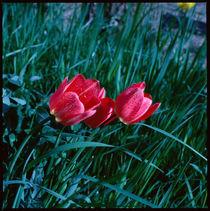 Frühling. Rote Tulpen im Gras. von li-lu