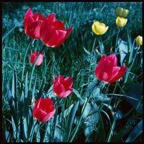 Frühling. Rote und gelbe Tulpen im Gras. von li-lu