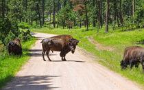 Bison Blocking The Road von John Bailey