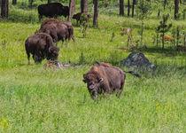 Bison Friend von John Bailey