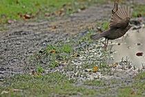 Startender Vogel über einer Pfütze by toeffelshop