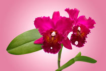 Orchidee Cattleya - orchid von monarch