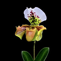 Orchidee Paphiopedilum-Frauenschuh-orchid by monarch