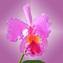 Orchidee Laelia Cattleya - orchid von monarch