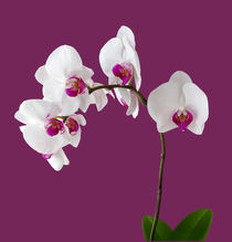 Orchidee Phalaenopsis - orchid by monarch