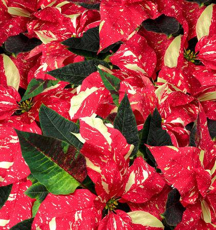 Weihnachtsstern-dot-1662-dot-3-1-dot-ss-dot-quad