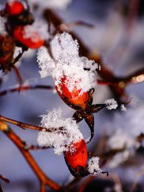 Hagebutten mit Schneemütze by Sabine Radtke