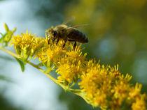 Biene auf Kanadischer Goldrute by Sabine Radtke