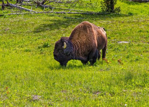 Yellowstone20140621-641a
