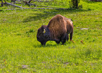 Bison At Yellowstone by John Bailey