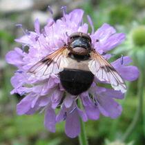 Biene auf Witwenblume by Susanne Winkels