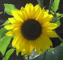 Kornelias Sonnenblume by Susanne Winkels