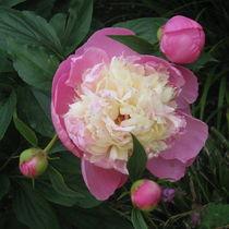 Rose in Pink und Weiß by Susanne Winkels