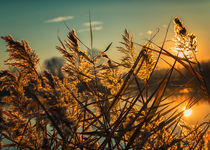 Cane thicket sunset by Giordano Aita