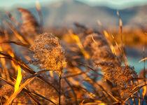 Cane thicket  by Giordano Aita