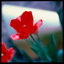 Rote Tulpe. von li-lu