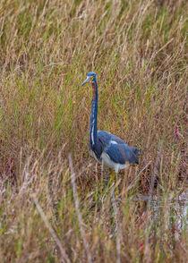 Curious Heron von John Bailey