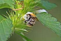 Hummel in Taubnesselblüte von toeffelshop