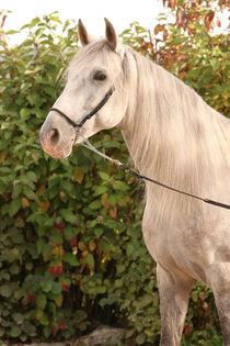Pferdeportrait 4 von Susanne Neudecker