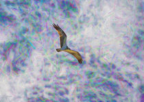 Soaring Osprey by John Bailey