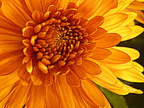 Sunlight Chrysanthemum by Kelly Martin