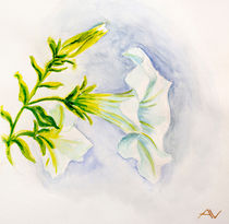 White petunia flowers. Watercolor von valenty