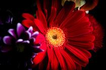 Red daisy by Gema Ibarra