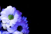 White flowers, daisies by Gema Ibarra