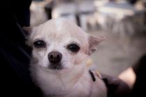 Chihuahua dog von Gema Ibarra