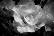 Yellow rose in black and white von Gema Ibarra