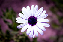 White Daisy with purple center von Gema Ibarra