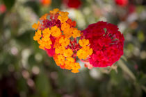 Lantana camara. Red and yellow flower von Gema Ibarra