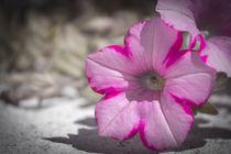Petunia von Gema Ibarra