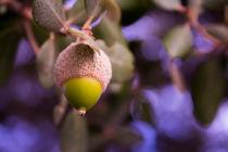 Green acorn by Gema Ibarra