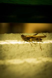 Green Grasshopper von Gema Ibarra