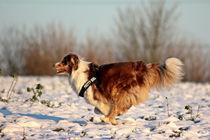Australian Shepherd auf Schnee by toeffelshop
