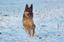 Schäfie mit Stöckchen im Schnee 2 by toeffelshop