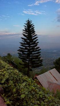 Hillside Fir Tree by Sammriddha Shrestha