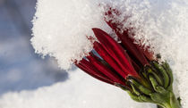 Snowaster von Henning Hollmann