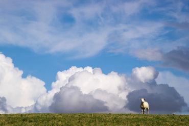 Schaf-auf-deich-quer